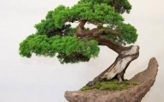 Бонсай своими руками: выращиваем в доме настоящее чудо